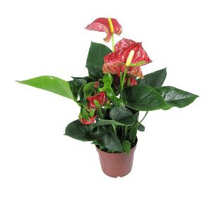 Купить комнатные цветы в нижнем новгороде